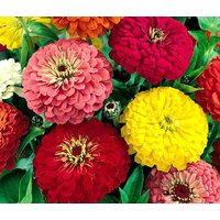 zinnia-dahlia-mixed-colors-zinnia-elegans-1100-bulk-seeds