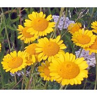 marquerite-golden-anthemis-sancti-johannis-100-seeds
