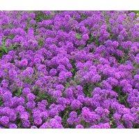 moss-verbena-verbena-tenuisecta-200-seeds