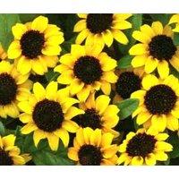 zinnia-creeping-sanvitalia-procumbens-500-seeds