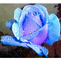 100pcs Rare Blue Rose seed Flowers Seeds Lover blue seeds rose sent gift