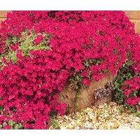 aubrieta-rock-cress-cascade-red-aubrieta-hybrida-superbissima-500-bulk-seeds