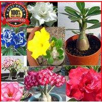 100pcs-adenium-obesum-seeds-desert-rose-perennial-flower-garden-bonsai-plant