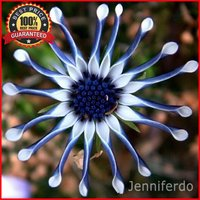 100pcs-rare-blue-daisy-plants-flower-seeds-exotic-ornamental-flowers-plant