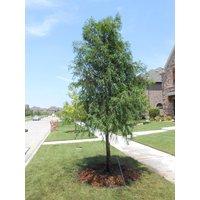 1-bald-cypress-tree-taxodiun-distichun