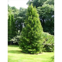 japanese-umbrella-pine-sciadopitys-verticillata-tree-seeds-rare-evergreen-4