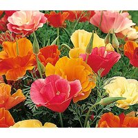 california-poppy-mission-bell-eschscholzia-californica-1000-seeds