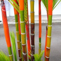 10-seeds-lipstick-palm-cyrtostachys-renda-tree-red-sealing-wax-palm