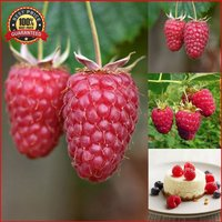 2000-red-raspberry-seeds-giant-sweet-tulameen-raspberry-finest-seeds