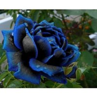 rere-color-midnight-supreme-rose-seeds-real-seeds-home-garden-flower-20pcs