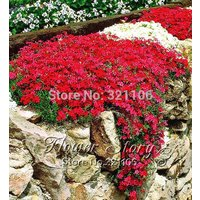 50-rock-cress-bright-red-seeds-flowering-groundcover-seeds