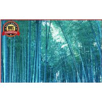 200-fresh-blue-bamboo-seeds-with-instructions-bambusa-chungii-hardy-rare