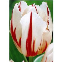 Tulip Bulbs, Happy Generation - Fall Planting/Single /Late Blooming Tulips