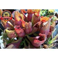 100-pcs-purple-pitcher-plant-sarracenia-purpurea-carnivorous-flower-seeds
