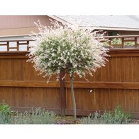1-japanese-dappled-nishiki-willow-shrubtree