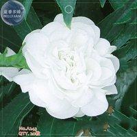best-price-balsam-purely-white-perennial-flower-seeds-diy-gardening-flower