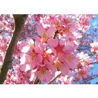 2-okame-flowering-cherry-tree