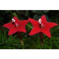 40-seeds-star-ipomoea-cypress-vine-cardinal-climber-quamoclit-flower-bulk-seeds