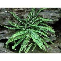 5-maidenhair-spleenwort-fern-rootrhizome-asplenium-platyneuron