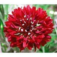 cornflower-bachelor-button-red-centaurea-cyanus-500-seeds