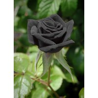 50-black-rare-rose-fresh-seeds-exotic-home-garden-plant-black-rose-flower-seeds
