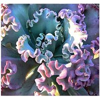 50-echeveria-gibbiflora-ruffled-leaves-succulent-seeds