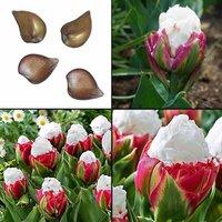 true-tulip-bulbs-not-tulip-seeds-bonsai-flower-ice-cream-as-beautiful-tulips