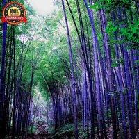 200-fresh-purple-bamboo-seeds-timor-bambusa-lako-hardy-rare