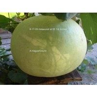 bushel-basket-gourd-lagenaria-siceraria-seeds-30-50-lbs-5-pcs