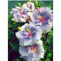 100pcsbag-hibiscus-flower-seeds-giant-hibiscus-seed-color-silver-blue