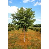 1-river-birch-single-stem-tree-betulanigra