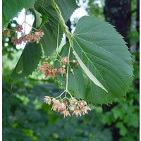 5-tilia-americana-american-linden-or-basswood-tree-seeds