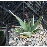 agave-utahensis-v-kaibabensis-north-rim-grand-canyon-cold-hardy-succulent-89