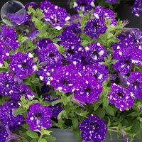 petunia-blue-sky-petunia-seeds-200-seeds-blue-petals-with-white-spot-flowers