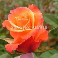rose-flower-seeds-rare200-orange-rose-seeds-really-gorgeous