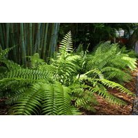live-plant-macho-fern-giant-boston-fern-clump-us-self-reproducing-gift