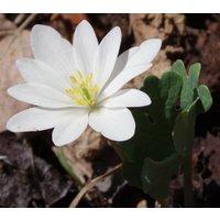 20-bloodroot-flowering-perennial-sanguinaria-canadensis