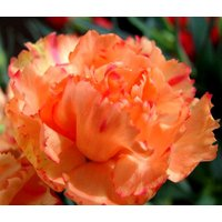 carnation-chabaud-orange-dianthryophyllus-20-seeds