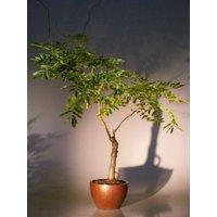flowering-japanese-wisteria-bonsai-treewisteria-floribunda