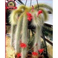 100-seeds-hildewintera-cleistocactus-colademononis-monkey-tail-cactus-plant