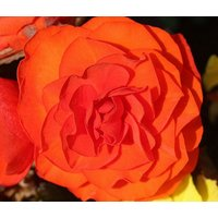 begonia-tuberous-double-orange-begonia-tuberosa-200-bulk-seeds