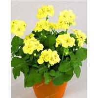 univalve-geranium-seeds-pelargonium-peltatum-seeds-100pcs-color-6