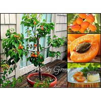seeds-dwarf-rouge-du-roussillon-apricot-fruit-tree-variety-hardy-blossom