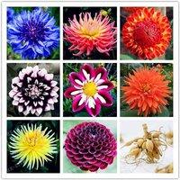 4-pc-color-mixing-dahlia-bulb-flowernot-dahlia-seeds-bonsai-flower