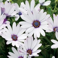120-seeds-osteospermum-african-daisy-sky-ice-o-ecklonis-white-purple-eye-flower