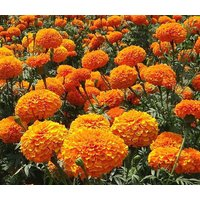 marigold-crackerjack-mixed-colors-tagetes-erecta-15000-bulk-seeds