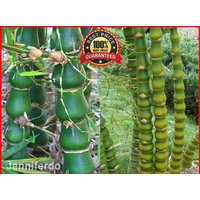 120pcs-buddha-belly-bamboo-bambusa-ventricosa-golden-bamboo-seeds-rare