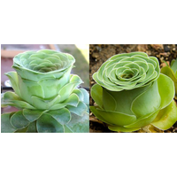 the-mountain-rose-50pcs-green-rose-garden-greenovia-flower-seeds-semillas-bonsai