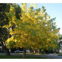 1-golden-rain-tree-koelreuteria-paniculata