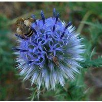 25-globe-thistle-echinops-ritro-flower-seeds